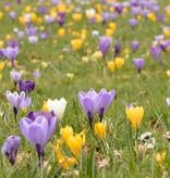 Krokus (Frühlings) Crocus vernus 'Vanguard' (Frühlings-Krokus) – Stinsenpflanze - 150 Stück für 6m2