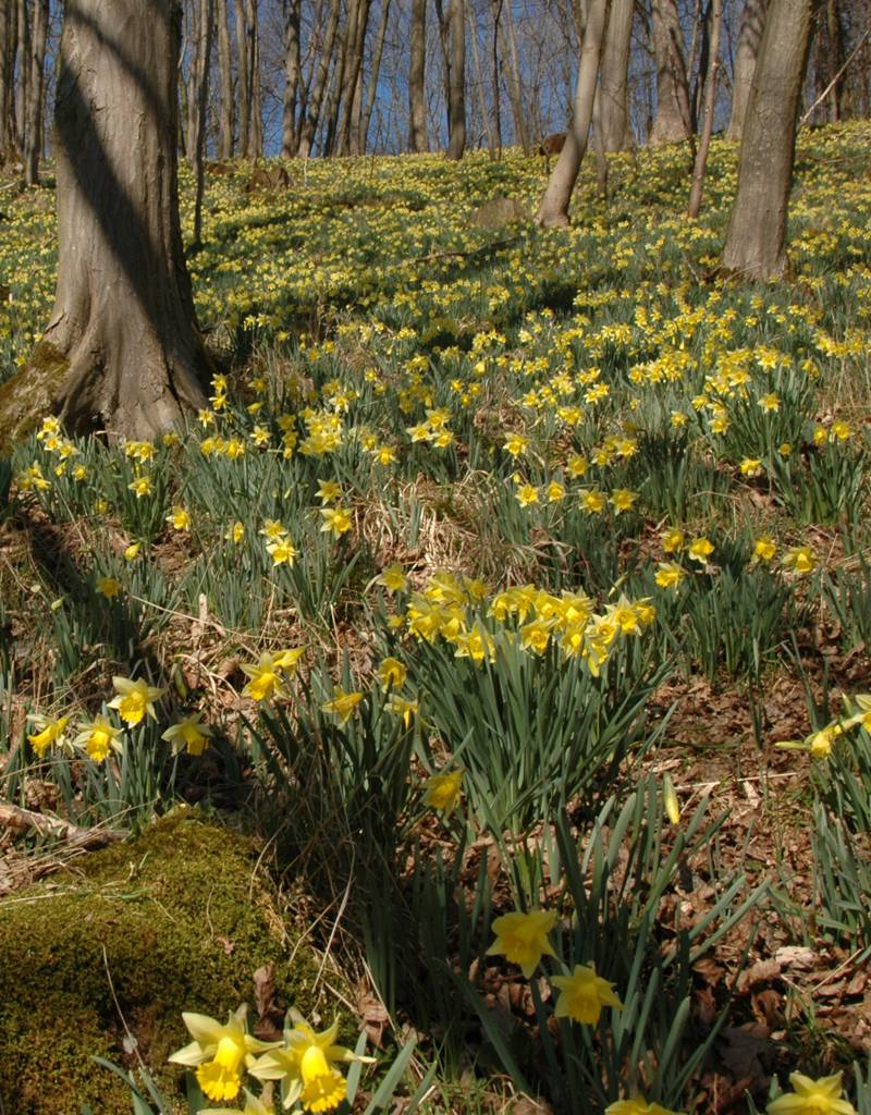 Narzisse (Wilde) Narcissus pseudonarcissus lobularis (Wilde Narzisse) - Stinsenpflanze - 100 Stück für 4m2
