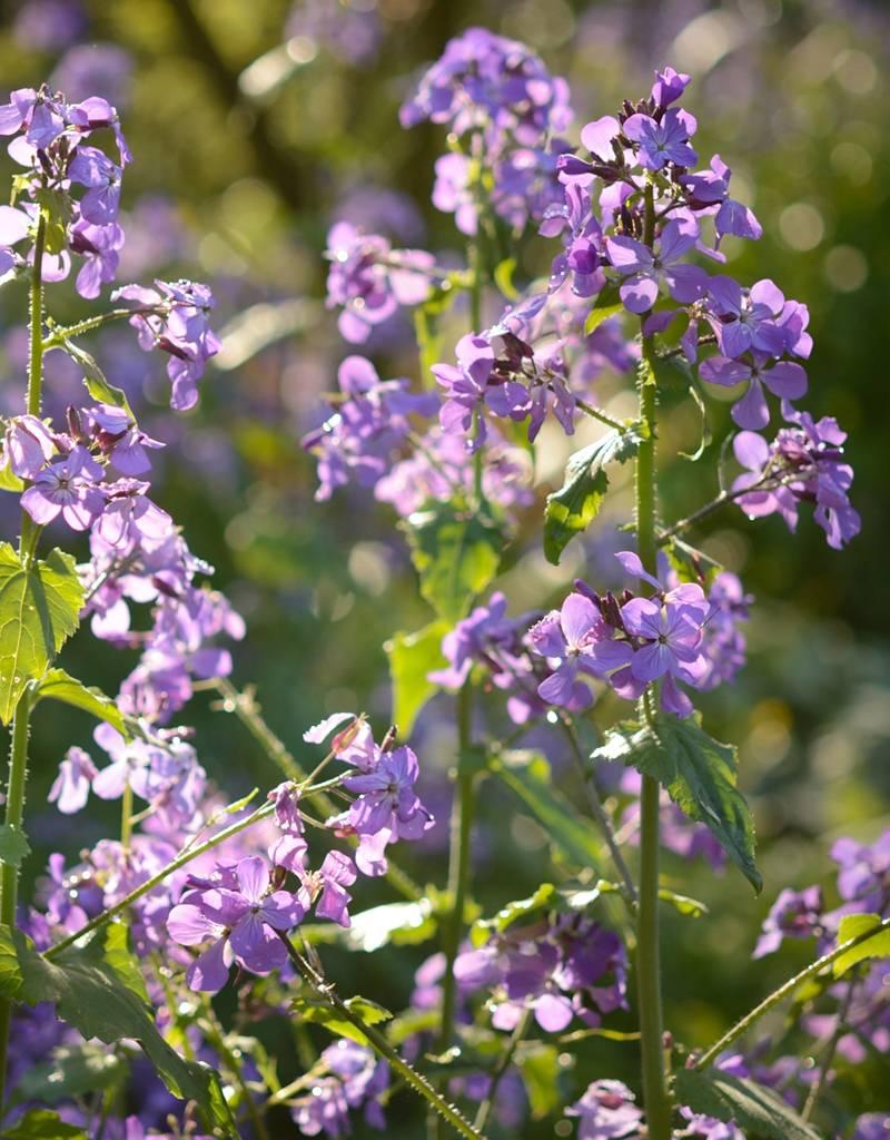 Griechischer Judas-Pfennig Lunaria annua 'Kastoria' (Saatgut) (Griechischer Judas-Pfennig)