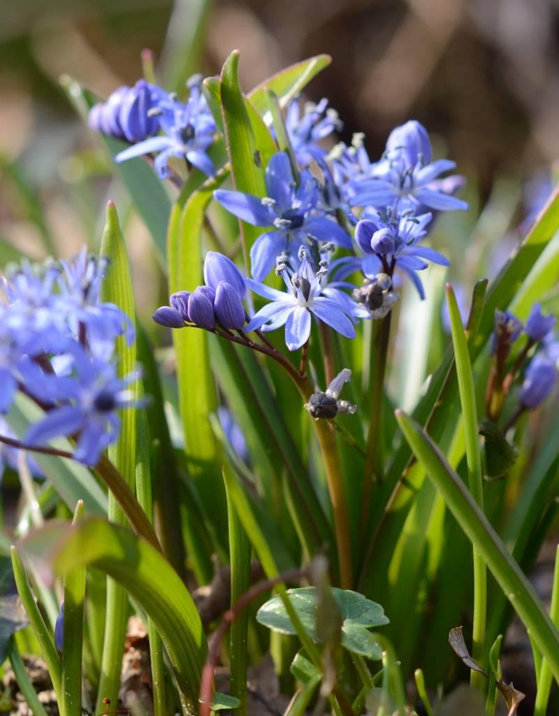 Blaustern (Zweiblättriger) Scilla bifolia (Zweiblättriger Blaustern) - Stinsenpflanze - 200 Stück für 8m2