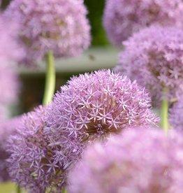 Zierlauch Allium 'Pinball Wizard'