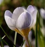 Krokus Crocus chrysanthus 'Blue Pearl' (Krokus)