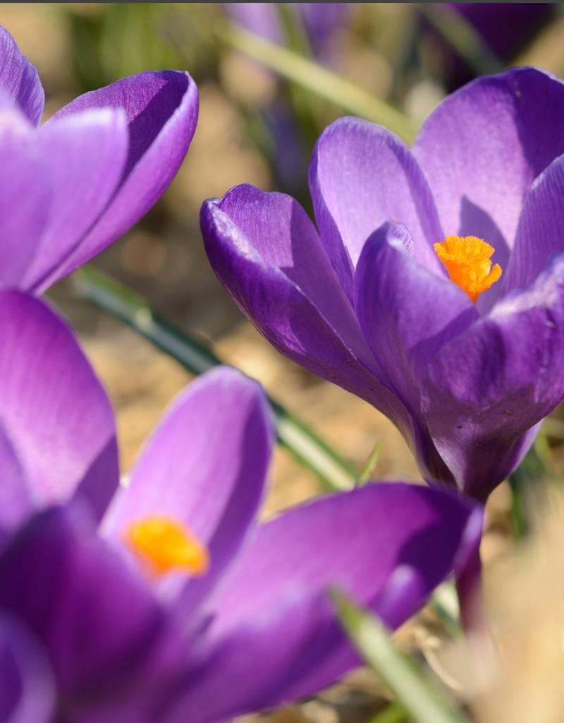 Krokus (Frühlings) Crocus vernus 'Flower Record' (Frühlings-Krokus) – Stinsenpflanze