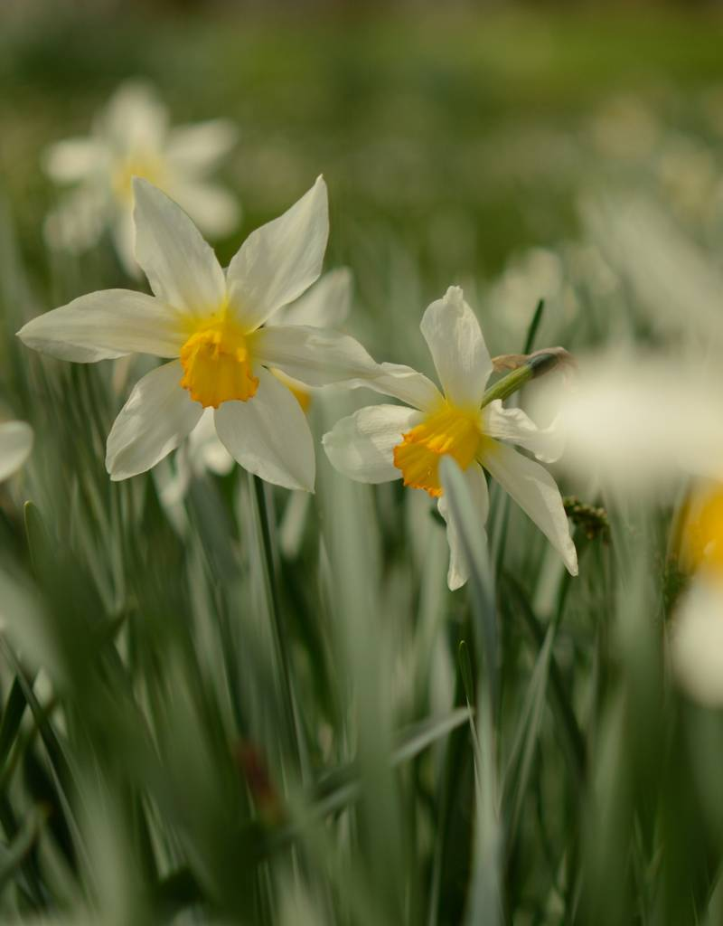 Narzisse  Narcissus 'Mrs Langtry'