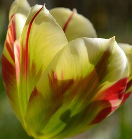 Tulpe Tulipa 'Flaming Spring Green'