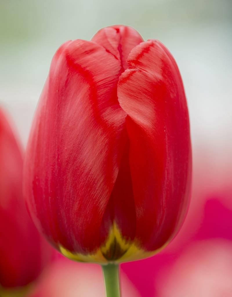 Tulpe Tulipa 'Parade'