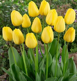 Tulpe Tulipa 'Golden Parade'