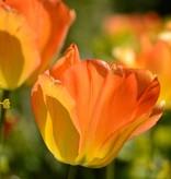 Tulpe Tulipa 'Daydream'