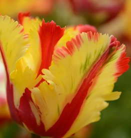 Tulpe Tulipa 'Flaming Parrot'