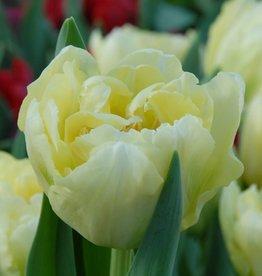 Tulpe Tulipa 'Verona'