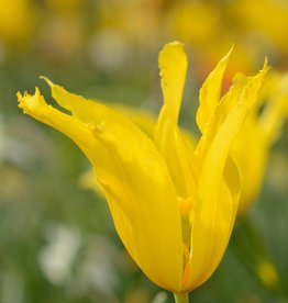 Tulpe Tulipa 'West Point'