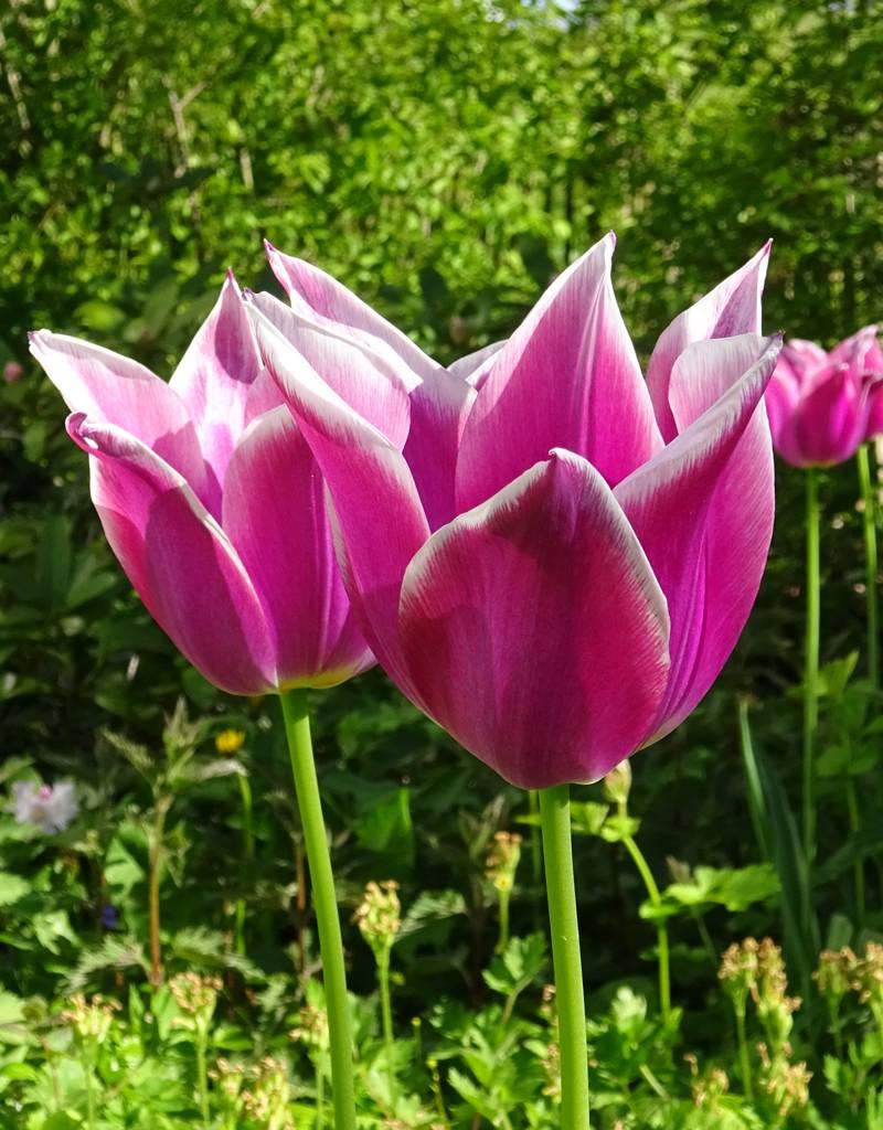 Tulpe Tulipa 'Ballade'