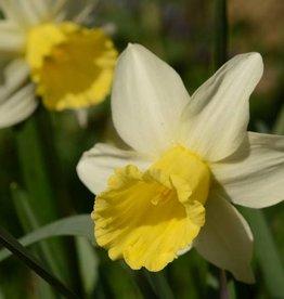 Daffodil Narcissus 'February Silver'
