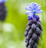 Grape hyacinth (Broad-leaved) Muscari latifolium (Broad-leaved grape hyacinth) - Stinzenplant