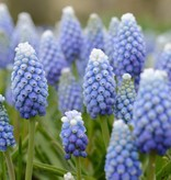 Grape hyacinth  Muscari aucheri 'Ocean Magic' (Grape hyacinth)