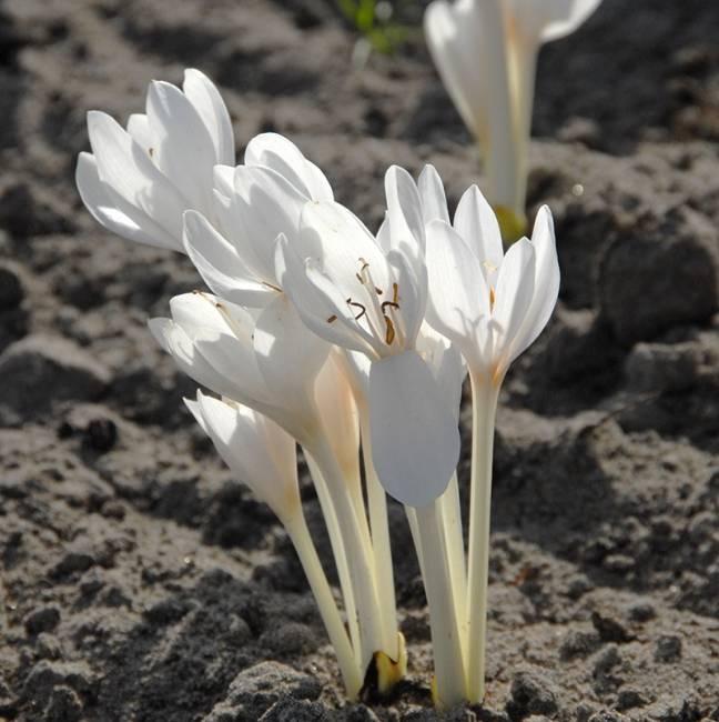 Meadow saffron Colchicum autumnale 'Album' (Meadow saffron)