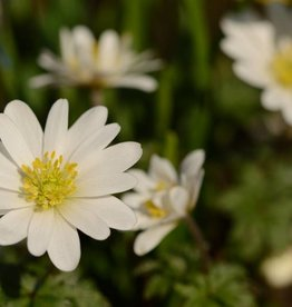 Anemone (Winter windflower) Anemone blanda 'White Splendour'