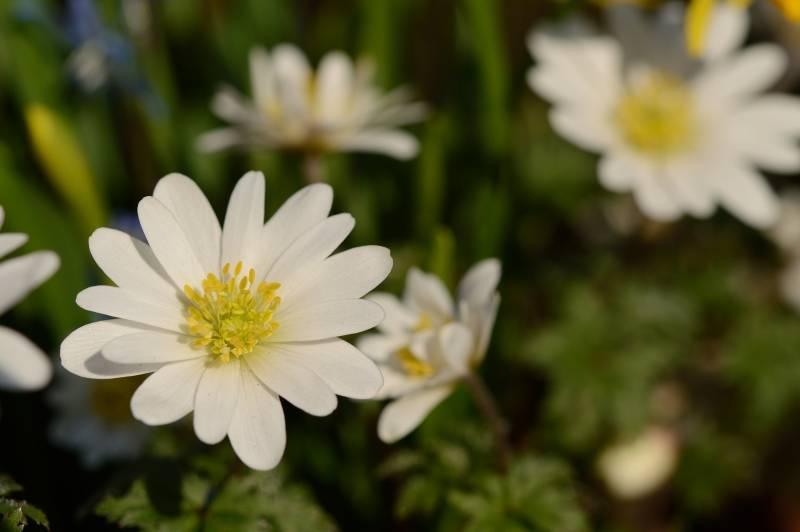 Anemone (Winter windflower) Anemone blanda 'White Splendour' (Winter windflower)