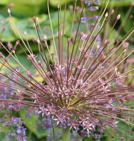 Ornamental onion Allium schubertii