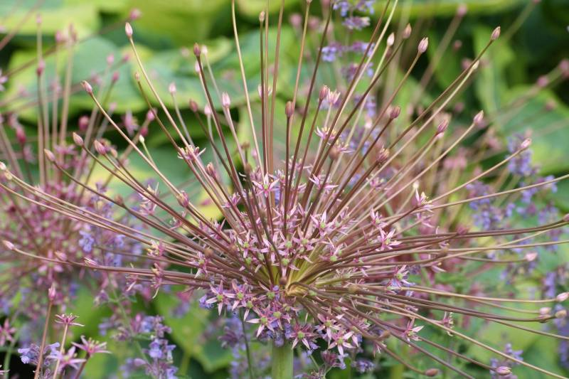 Ornamental onion Allium schubertii (ornamental onion)