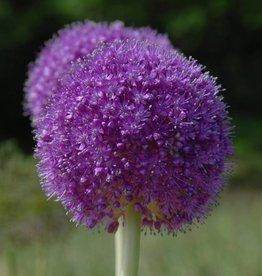 Ornamental onion Allium giganteum