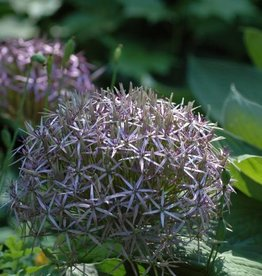 Ornamental onion Allium christophii