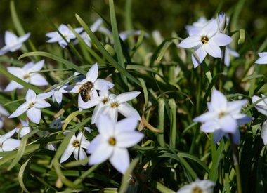 IPHEION - Starflower