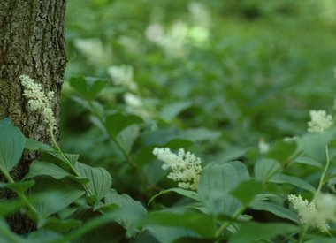 SMILACINA - False spikenard