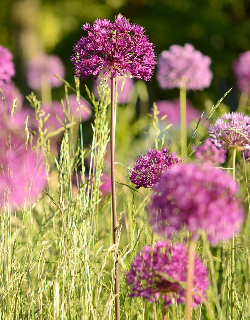 Ornamental onion Allium 'Purple Sensation', ECO (Dutch garlic)