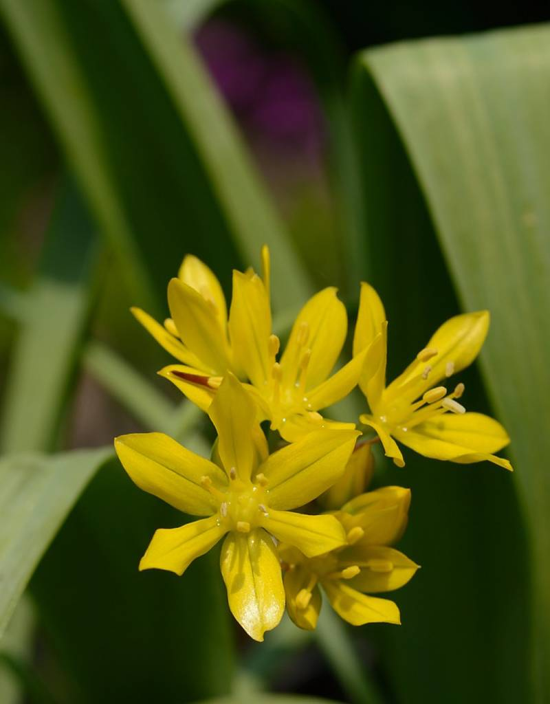 Onion Allium moly, ECO (Yellow garlic)