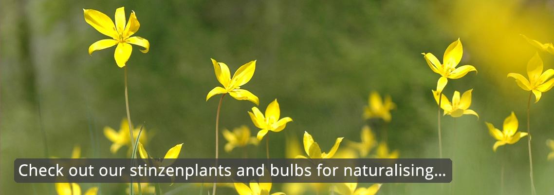 flowerbulbs-tulipa-sylvestris