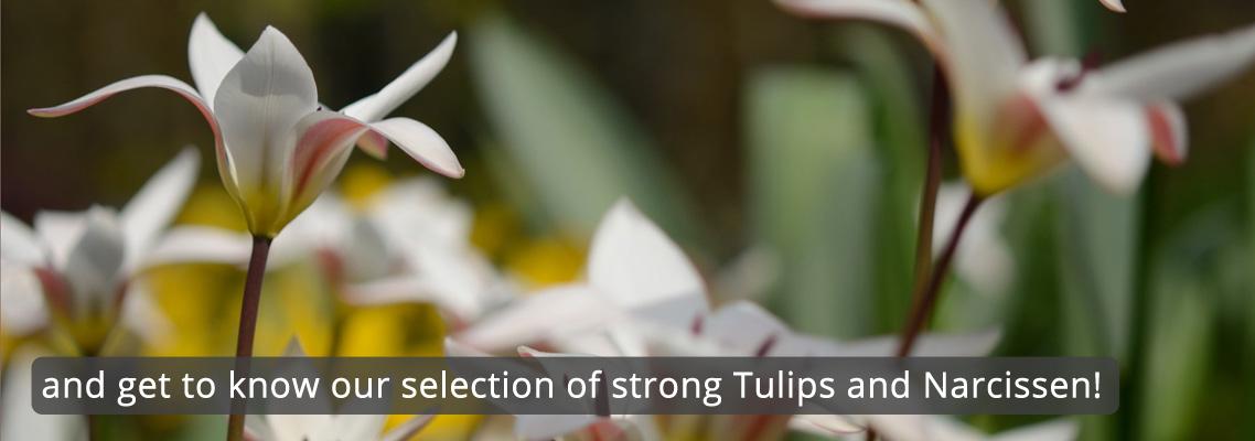 flowerbulbs-wild-tulips