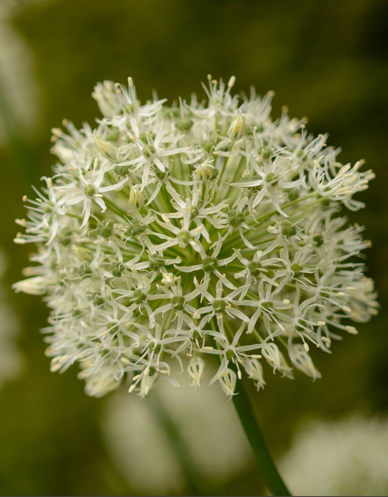 Ornamental onion Allium 'Mount Everest' (ornamental onion)