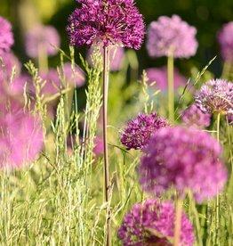 Ornamental onion Allium 'Purple Sensation'