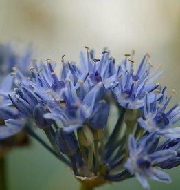 Onion Allium caeruleum