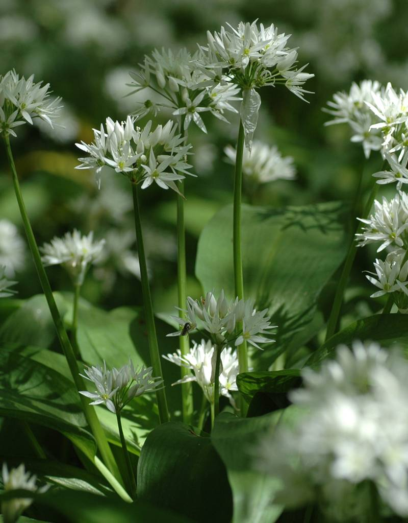buy allium ursinum wild garlic ramsons de warande. Black Bedroom Furniture Sets. Home Design Ideas