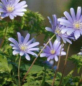 Anemone (Blue) Anemone apennina 'Petrovac'