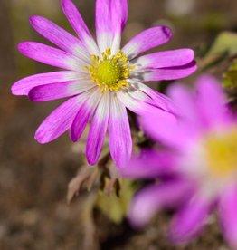 Anemone (Winter windflower) Anemone blanda 'Radar'