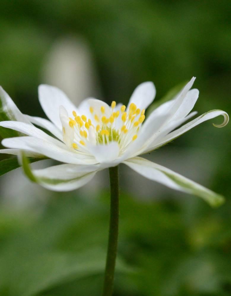 Anemone (Wood) Anemone nemorosa 'Bracteata' (Wood anemone) - Stinzenplant