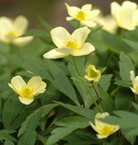 Anemone (Wood) Anemone x lipsiensis (Wood anemone) - Stinzenplant