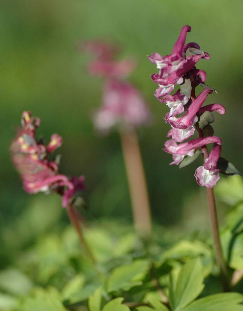 Holewort Corydalis cava (bulbosa) (Holewort) - Stinzenplant
