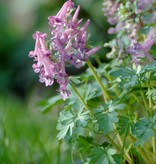 Fumewort Corydalis solida (Fumewort) - Stinzenplant