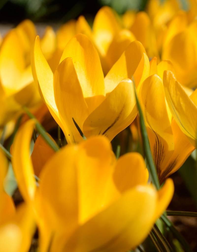 Crocus (Yellow) Crocus flavus (Yellow crocus)
