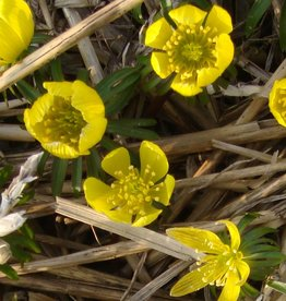 Winter aconite Eranthis cilicica, ECO