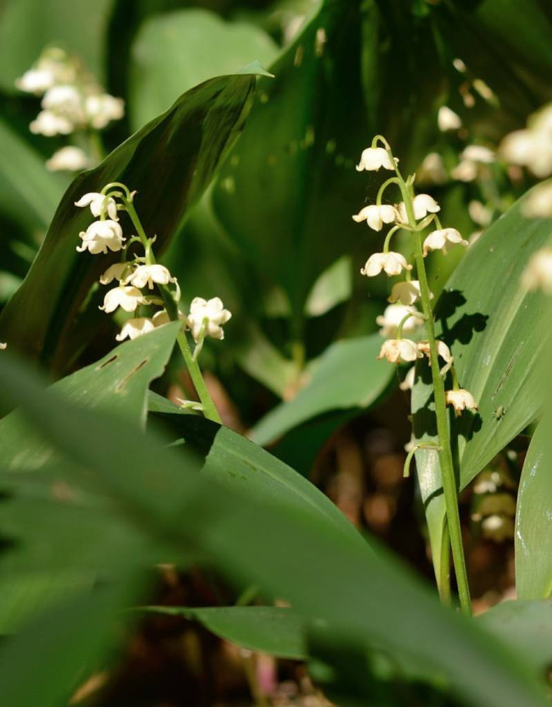 Lily of the valley Convallaria majalis, (Lily of the valley) - Stinzenplant