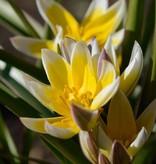 Tulip (Wild) Tulipa tarda, ECO