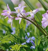Glory of the snow Chionodoxa forbesii 'Pink Giant' (Glory of the snow)