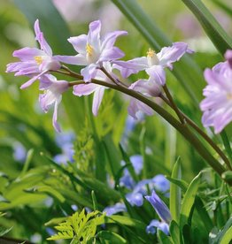 Glory of the snow Chionodoxa forbesii 'Pink Giant'