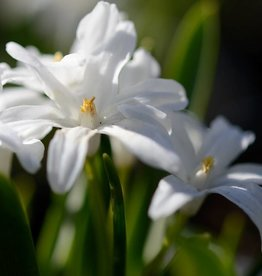 Glory of the snow Chionodoxa luciliae 'Alba'
