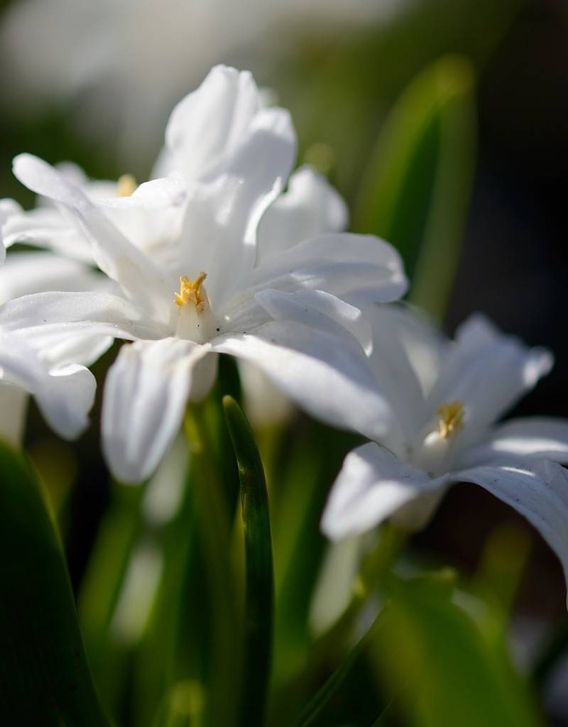 Glory of the snow Chionodoxa luciliae 'Alba' (Glory of the snow) - Stinzenplant